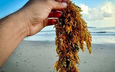 Safe Seaweed by Design is launching a survey on safety hazards in the seaweed sector